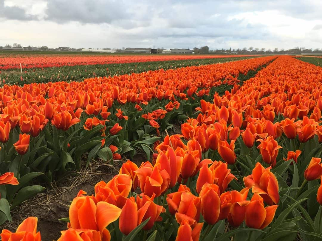 Finding the most colorful tulip fields in the Netherlands