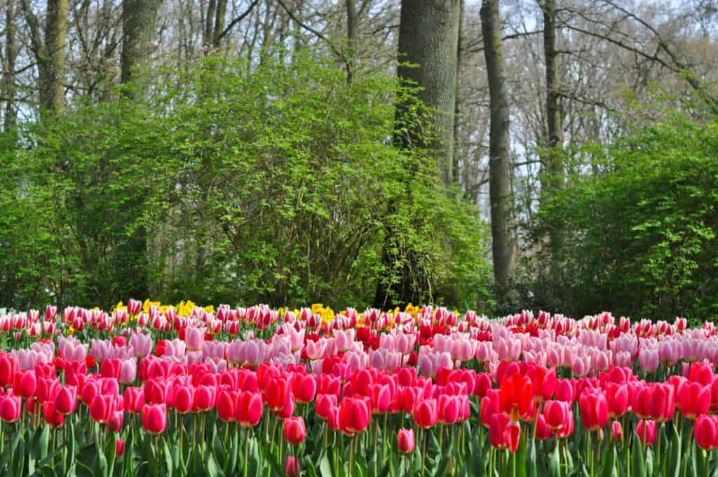 Finding the Best Tulip Fields in the Netherlands | Tips for finding beautiful tulip fields in Holland and visiting the Keukenhof Gardens