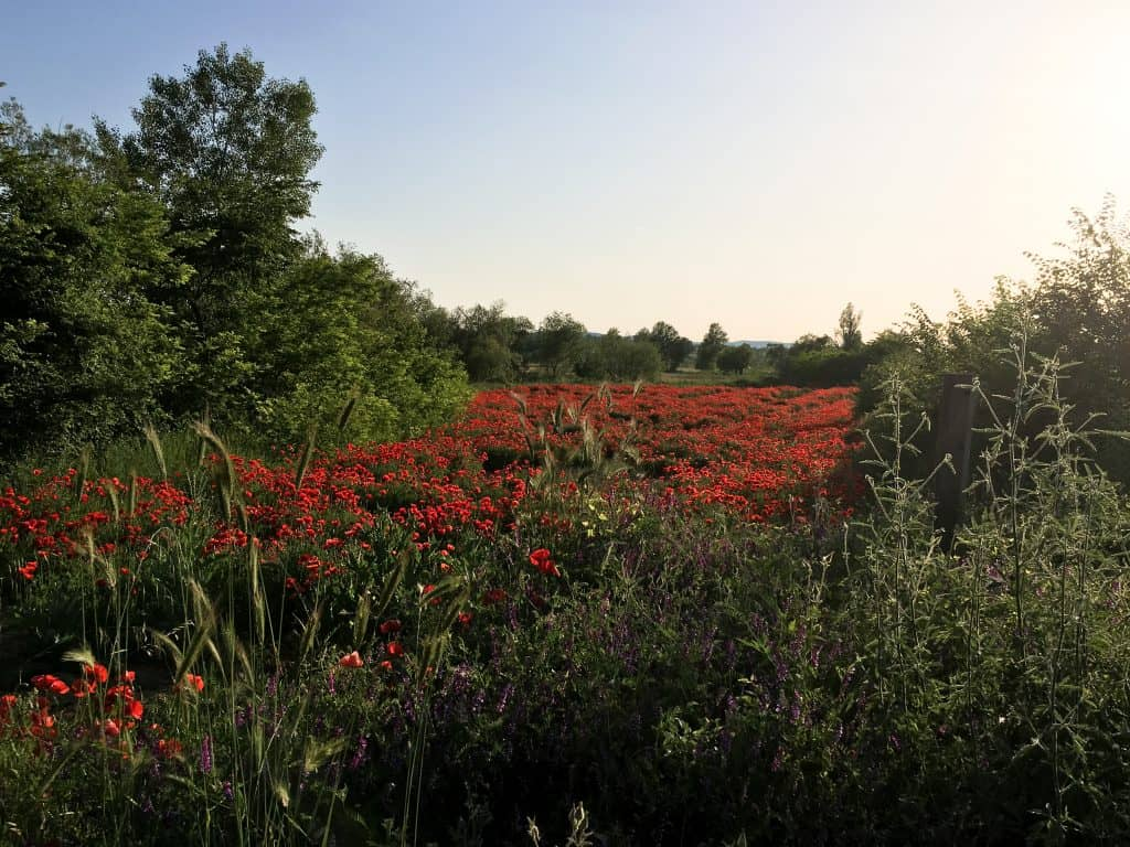 Driving in Croatia | Red poppy fields on the side of the road