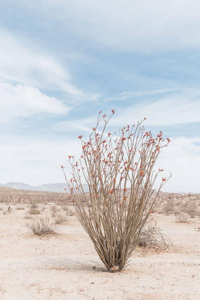 Desert Wildflowers in bloom in Anza Borrego Desert State Park
