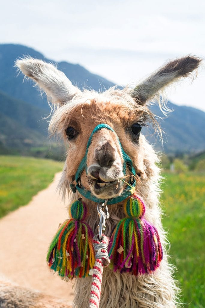 Llama at Oak Hollow Farm | Tips for booking the coolest rentals and camping spots in Southern California