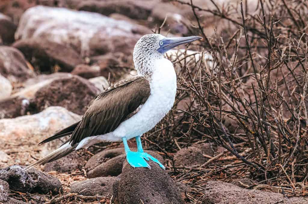 Blue-footed Booby on the Marieta Islands