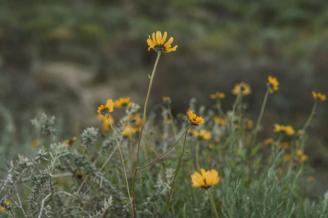 Bush Sunflowers in Crystal Cove State Park, California