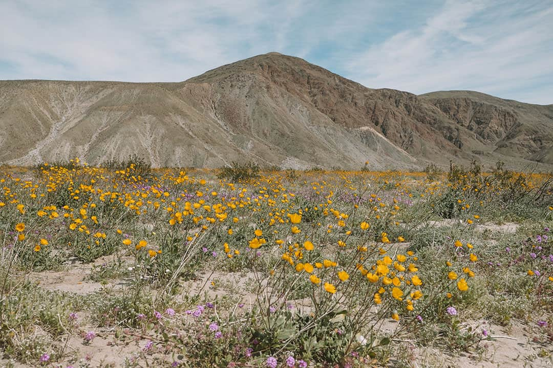 Wildflowers during super bloom in Anza-Borrego Desert State Park | Where to find the best wildflowers in Southern California