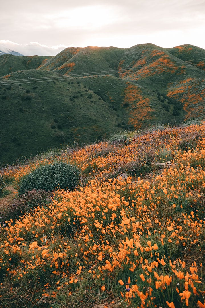 Golden Poppies during super bloom in Walker Canyon near Lake Elsinore | Where to find the best wildflowers in Southern California