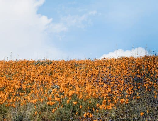 Antelope Valley California Poppy Reserve  | Where to find wildflowers in Southern California