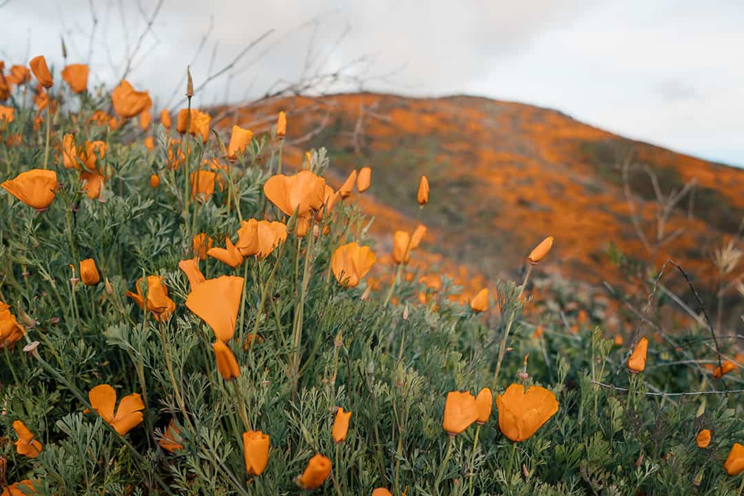 Golden Poppies in Chino Hills State Park | Super bloom in Southern California