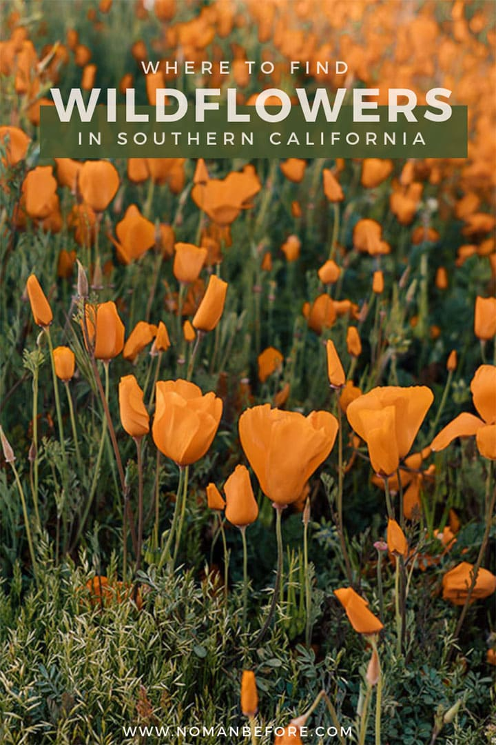 Where to find the best wildflowers in Southern California | Caught the super bloom bug? Use this guide to find beautiful fields of flowers in Southern California this spring. | #california #wildflowers #superbloom #southerncalifornia