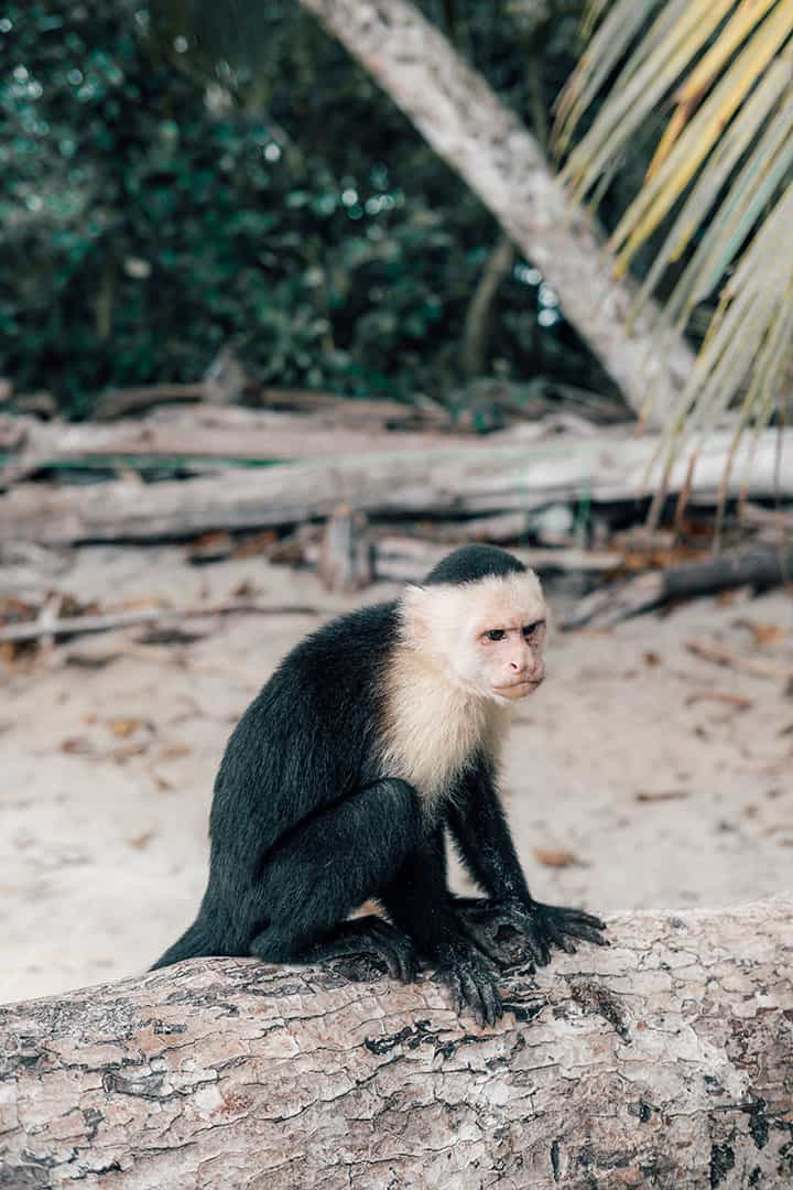 Capuchin Monkey in Manuel Antonio National Park
