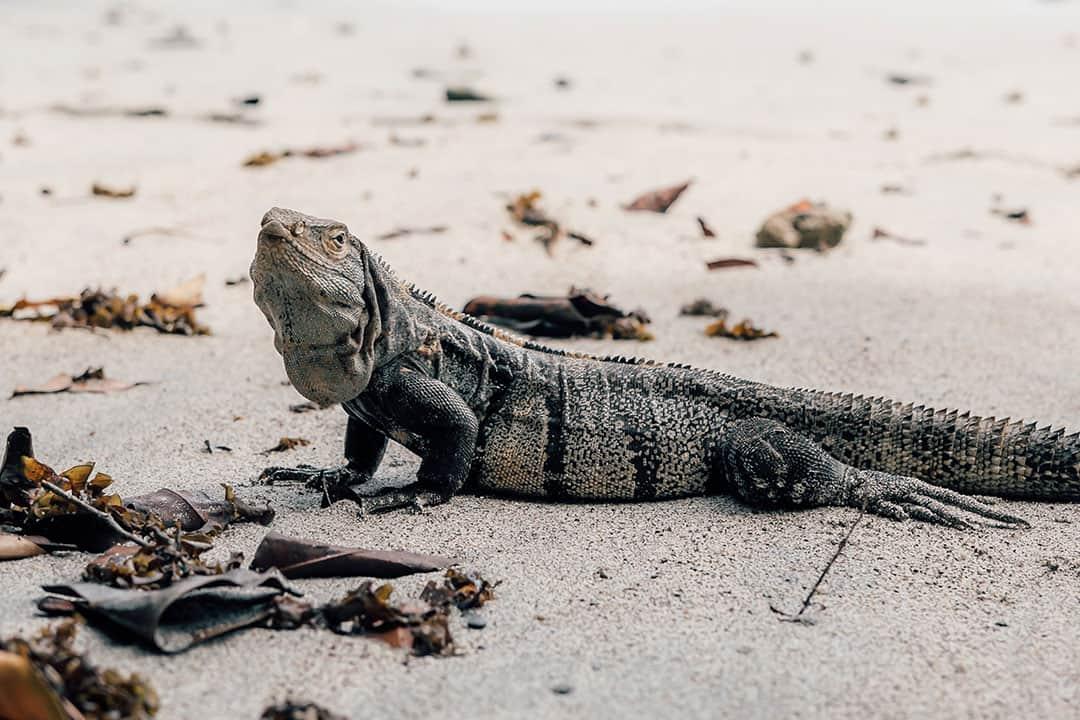Iguana on Manuel Antonio Beach
