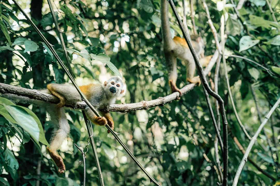 Squirrel Monkey in Manuel Antonio National Park