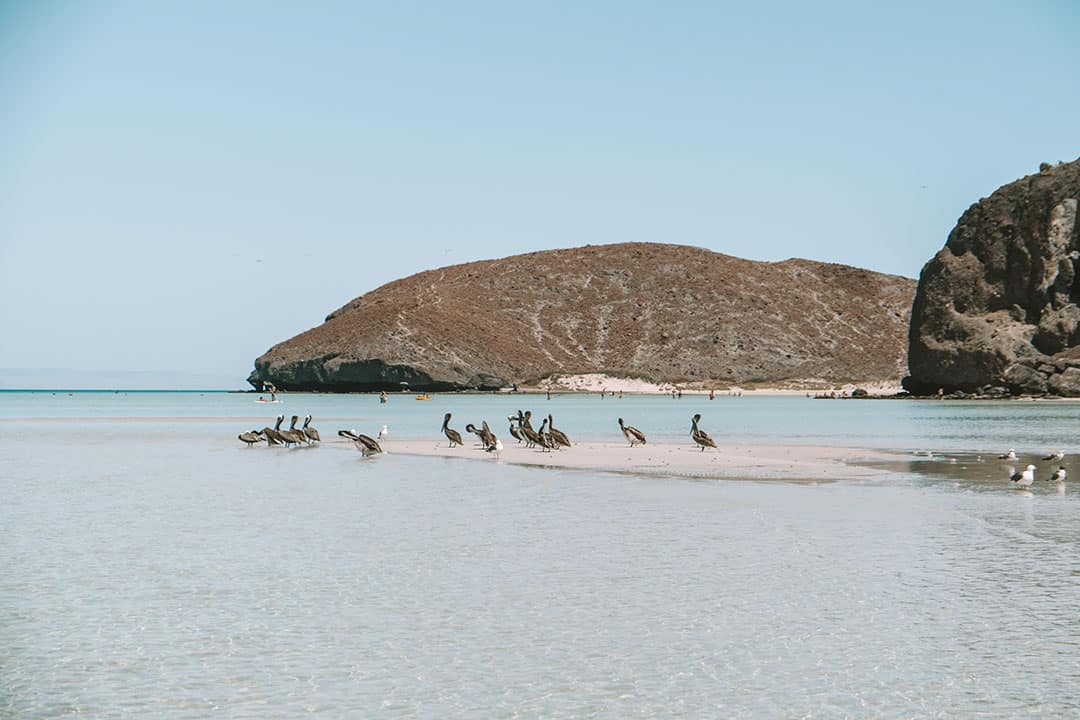 Pelicans on the Sand Bar at low tide in Balandra Bay