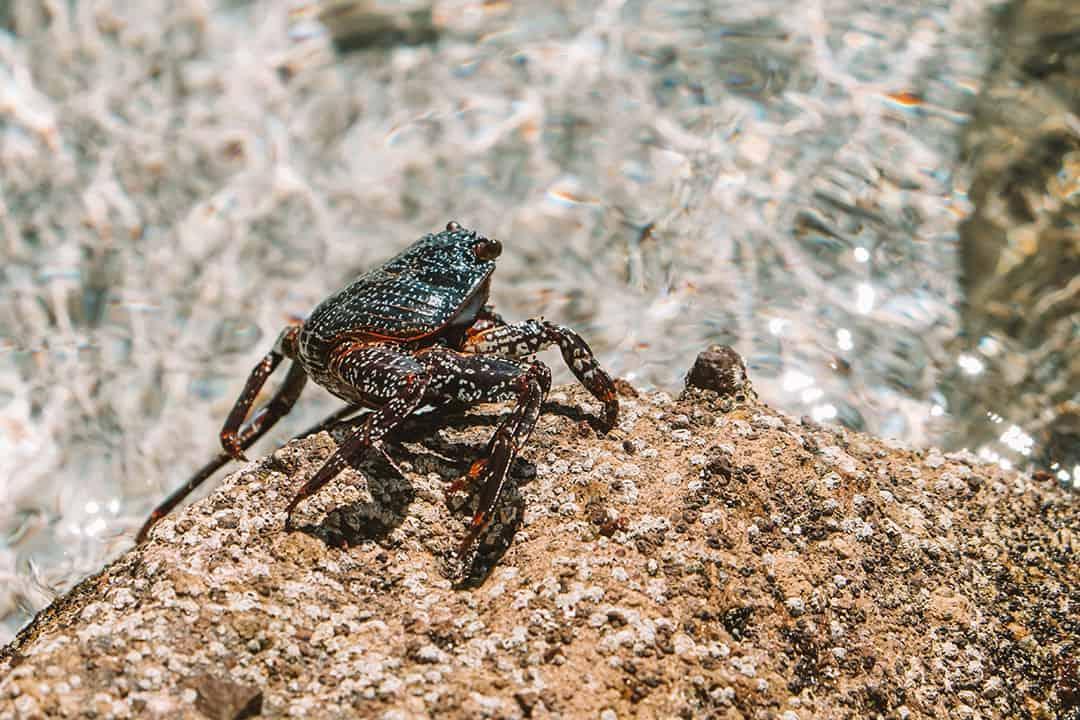 Crab on Playa Ensanada Grande at Isla Partida Mexico