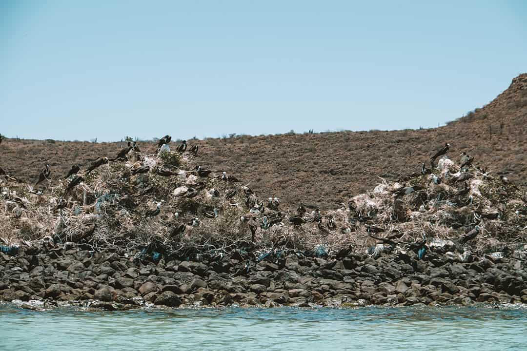 Frigatebirds on Isla Espiritu Santo