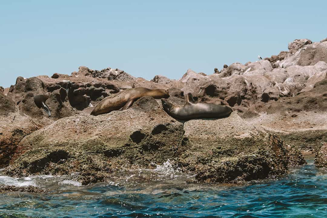 Sea Lions sunning on rocks of Los Islotes