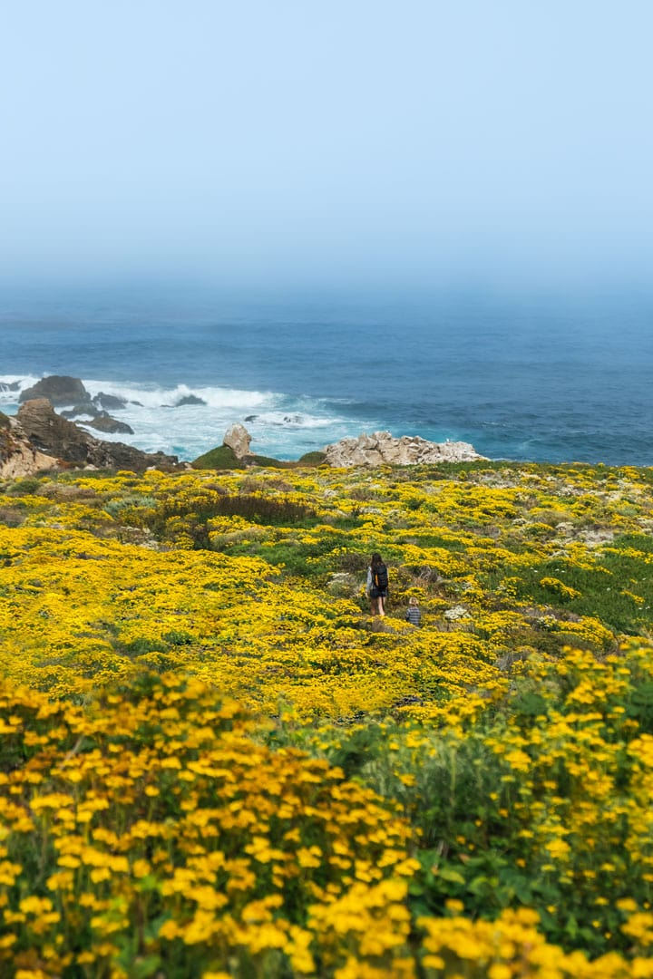 Wildflowers in Garrapata State Park in Big Sur California