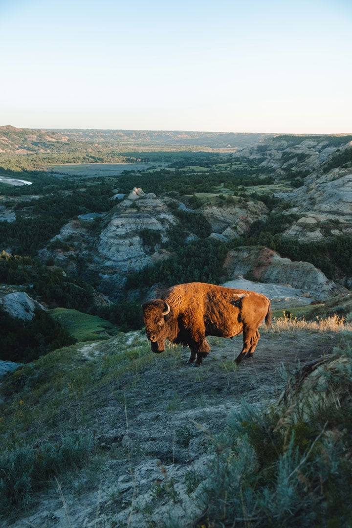 A Bison in Theodore Roosevelt National Park