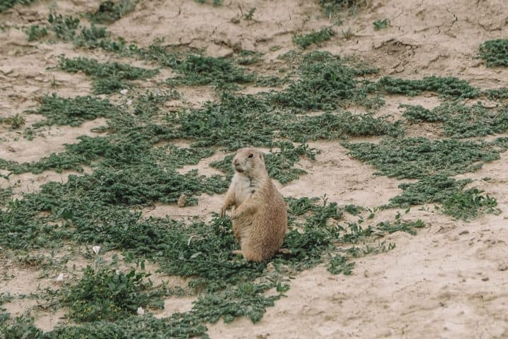 Prairie Dogs in Theodore Roosevelt National Park