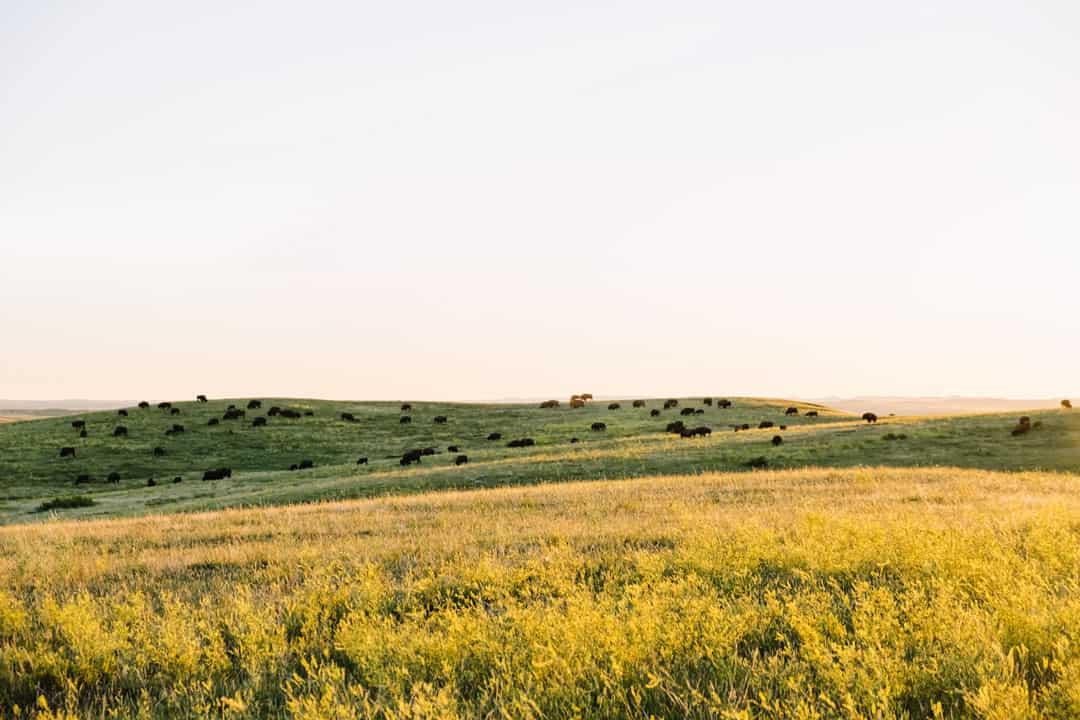Herd of Bison in Theodore Roosevelt National Park in North Dakota